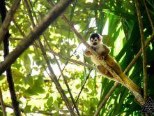 PVEV monkey