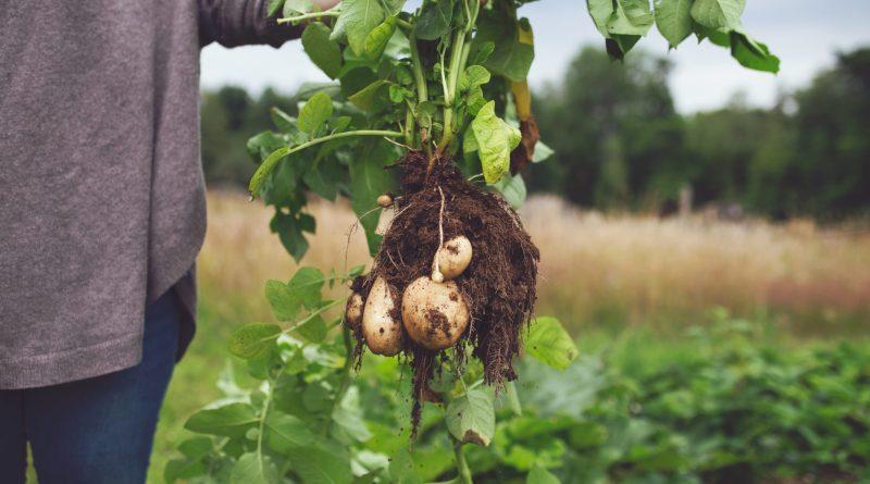 картофель клубни