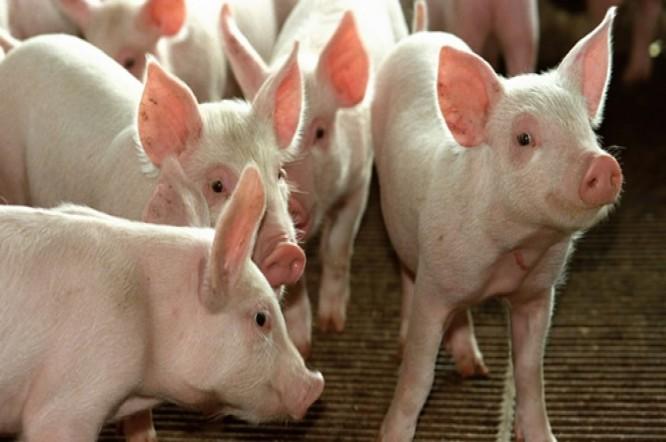 Receita das exportações de carne suína cresce 38,4% em outubro