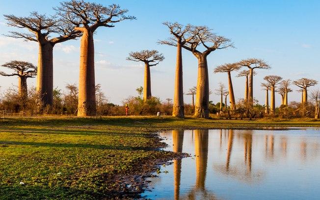 Nove dos 13 baobás mais antigos do mundo morrem e geram alerta sobre aquecimento