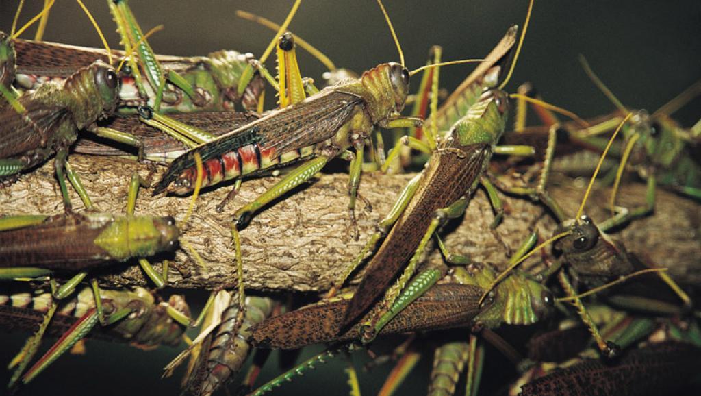 Ataque de gafanhotos surpreende moradores e causa prejuízos em plantações de Natividade