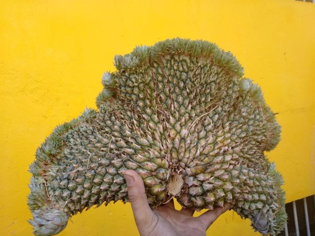 Abacaxi com formato inusitado é colhido no TO e impressiona; veja fotos