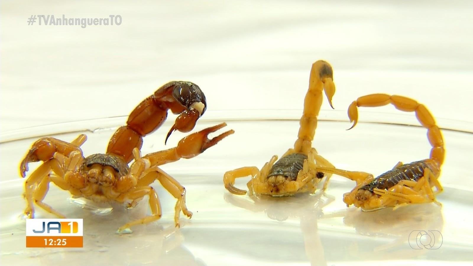 Secretaria registra 300 acidentes com escorpiões em Palmas