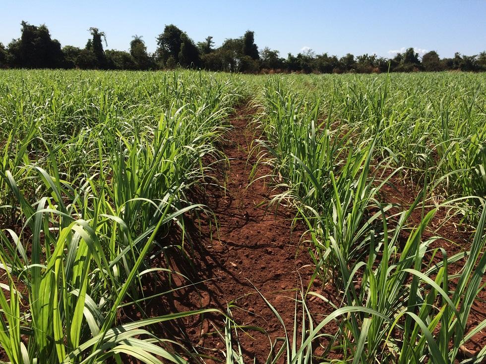 Nova cana-de-açúcar apresenta resistência à broca e ao herbicida glifosato