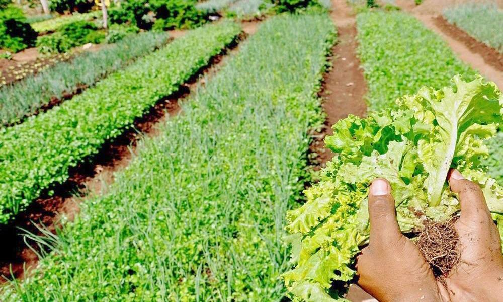 Secretaria alerta produtores para propagação da Antracnose na região de várzeas tropicais