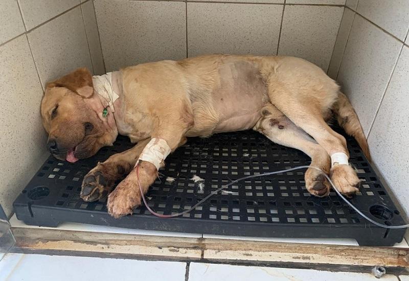 Professora palmense faz artesanato para pagar tratamento de cão; animal foi esfaqueado após casa ter sido invadida