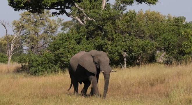 Morte misteriosa de 350 elefantes é investigada em Botswana