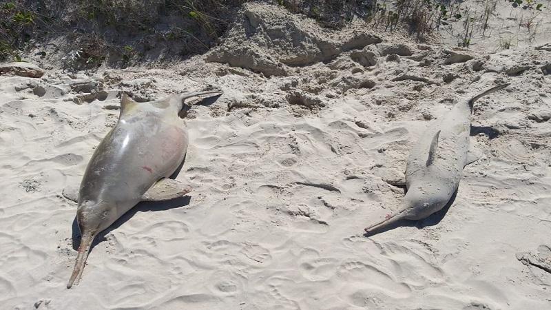 Mulheres lutam para proteger a toninha, golfinho mais ameaçado do Brasil