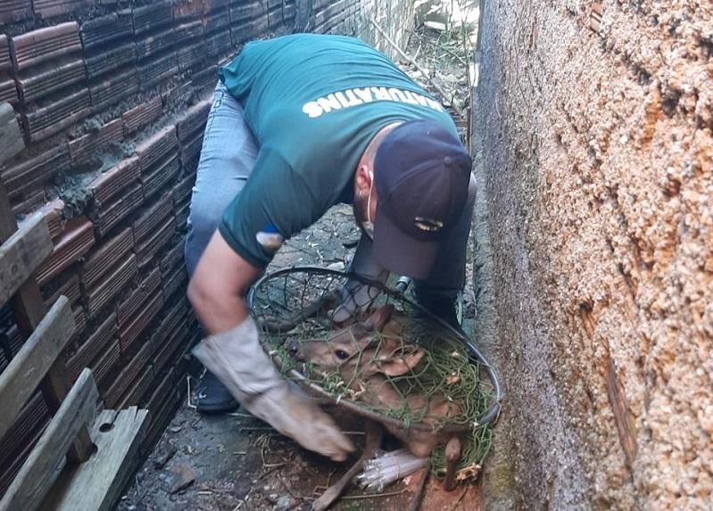 Veado-mateiro é resgatado pelo Naturatins em área residencial de Paraíso
