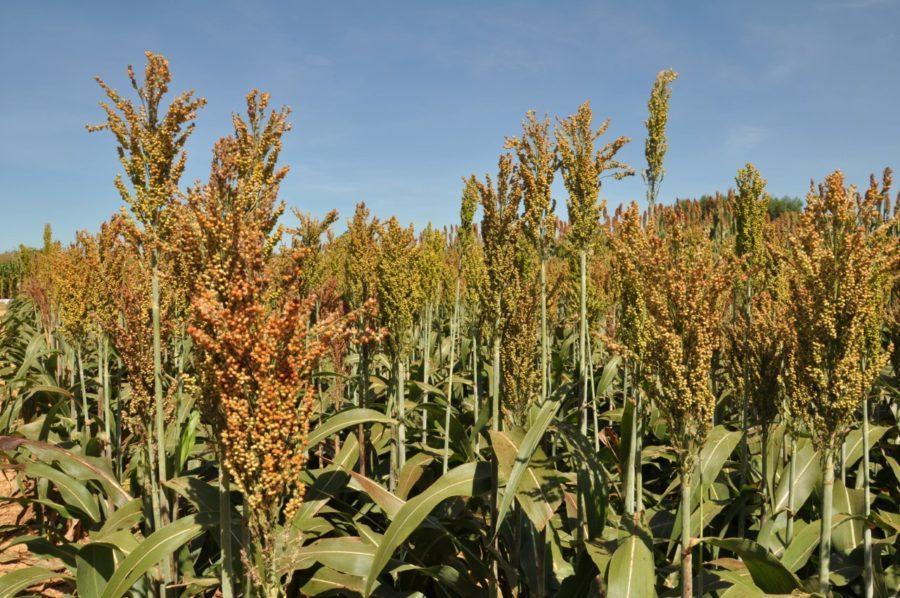 Em fase de colheita final, produção de sorgo deve aumentar em 48 % no Tocantins