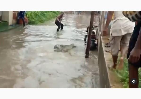 Em vídeo impactante, homem captura crocodilo que apareceu em cidade durante enchente