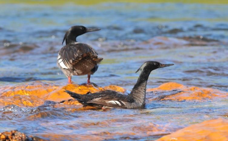 Expedição identifica menor número de adultos na população de pato-mergulhão no Tocantins
