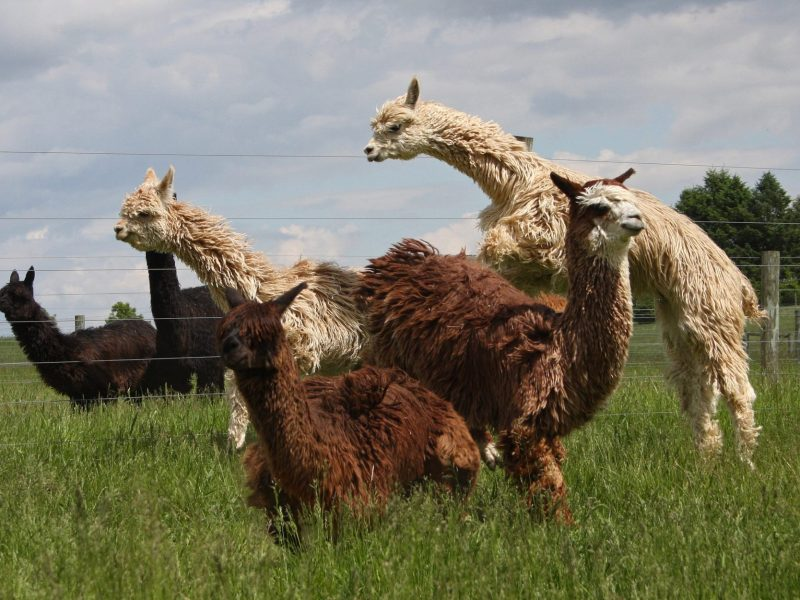 Alpacas in Motion!
