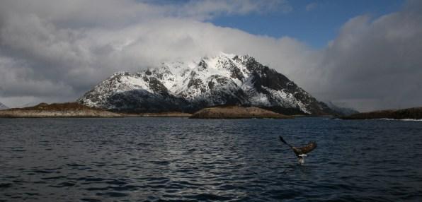 Aigle de Svolvaer, Lofoten. Mars 2012