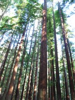 A forest of redwoods where you can appreciate the density of the stand