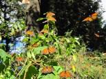 Mariposas Monarcas, Mich. Reserva de la Biosfera, Mexico
