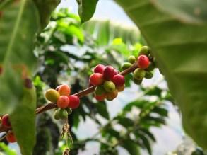 Baies de café de Colombie, Caldas