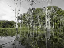 Floresta inundada do Amazônia