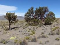 Queñual (Polylepis, el arbol que crece lo mas alto del mundo)