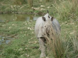 Le rhino et ses oiseaux