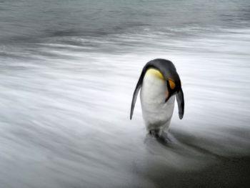 surprisinglives.net/south-georgia-penguin/