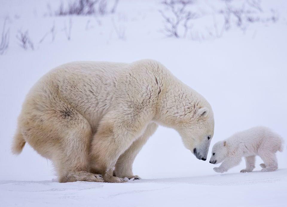 surprisinglives.net/polar-bear-love/