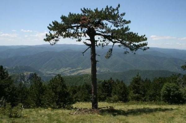 Pinus Nigra Banatica
