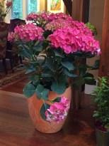 Hydrangea for the garden