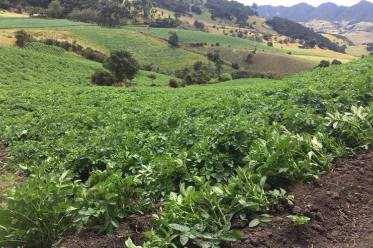 cultivos de papa, papa en tausa, producción de papa,
