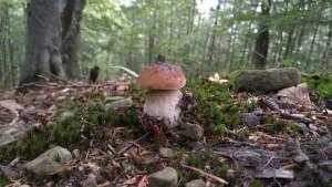 Survival Nahrung finden Steinpilz