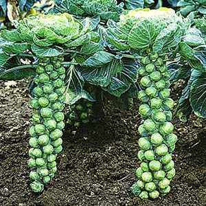 brussels-sprouts
