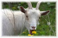 Homesteading Livestock