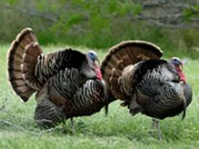 Heritage turkeys as livestock