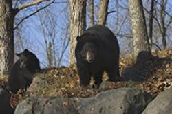 Black bears near survival shelter