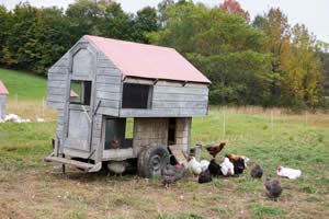 Winterizing your chicken coop - 4 ways to avoid frozen chickens