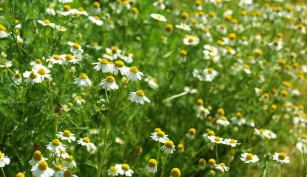 Medicinal Herbs to Grow - German Chamomile