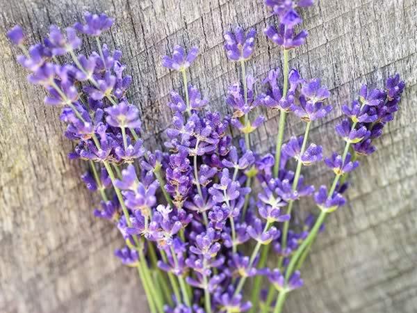 Medicinal Herbs - lavender