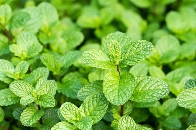 Medicinal Herbs - peppermint