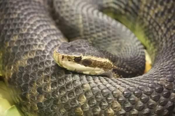 Snake Bite Treatment - Timber rattlesnake (Crotalus horridus)