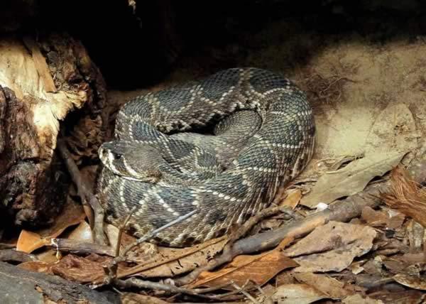 Snake Bite Treatment - Eastern diamondback rattlesnake (Crotalus adamanteus)