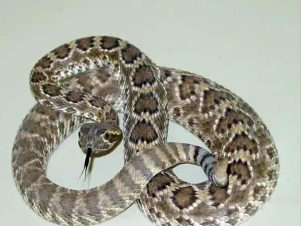 Snake Bite Treatment - Mojave rattlesnake (Crotalus scutulatus)