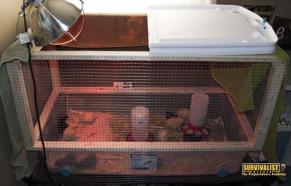 Ckicken Brooder Set up with Chicks