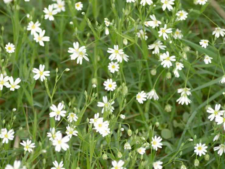 chickweed white plant flowers | Primitive Sun Block Methods | Natural Remedies | natural remedies | list of natural remedies
