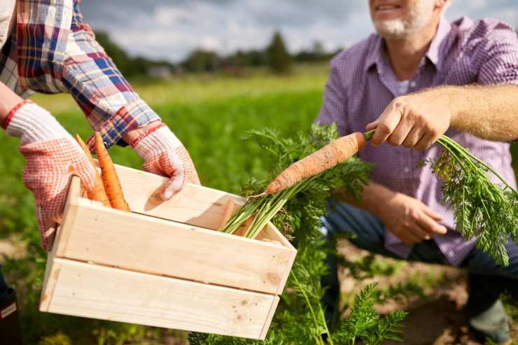 A senior couple with box picking carrots at farm garden | Ways To Prepare For Economic Collapse | Things You Should Do