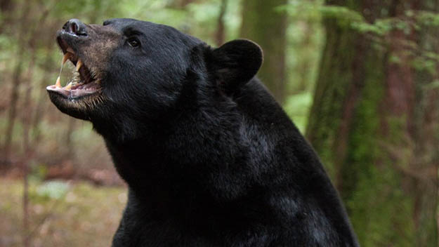 Seeing a bear might be an awesome experience on your Smoky Mountains camping but you need to be cautious. Via outsideonline.com