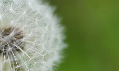 edible plants dandelion