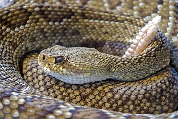 Venomous Snakes | Dangerous Creatures and How to Avoid Them