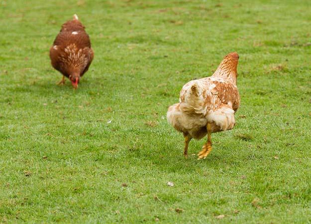 chicken farming 4