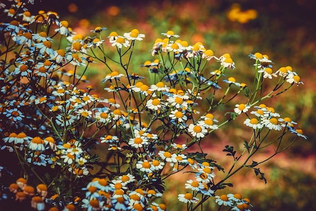 Feverfew | Powerful Medicinal Plants From Around the World