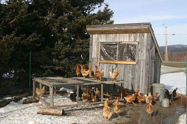 02 chickens